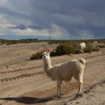 ボリビアのアルパカ