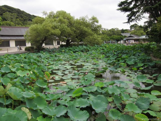 鶴岡八幡宮の蓮の池
