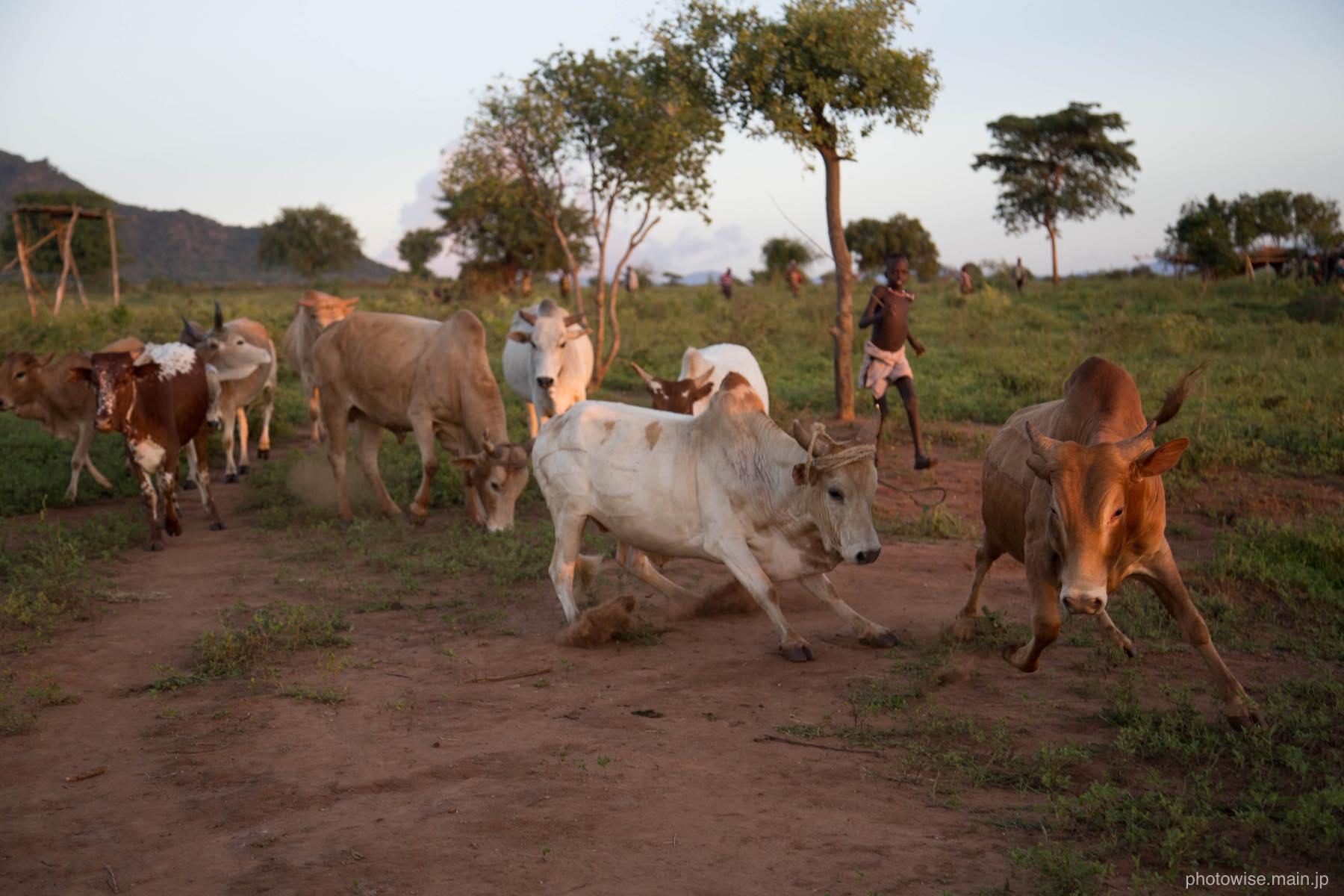 ブルジャンプ用の牛