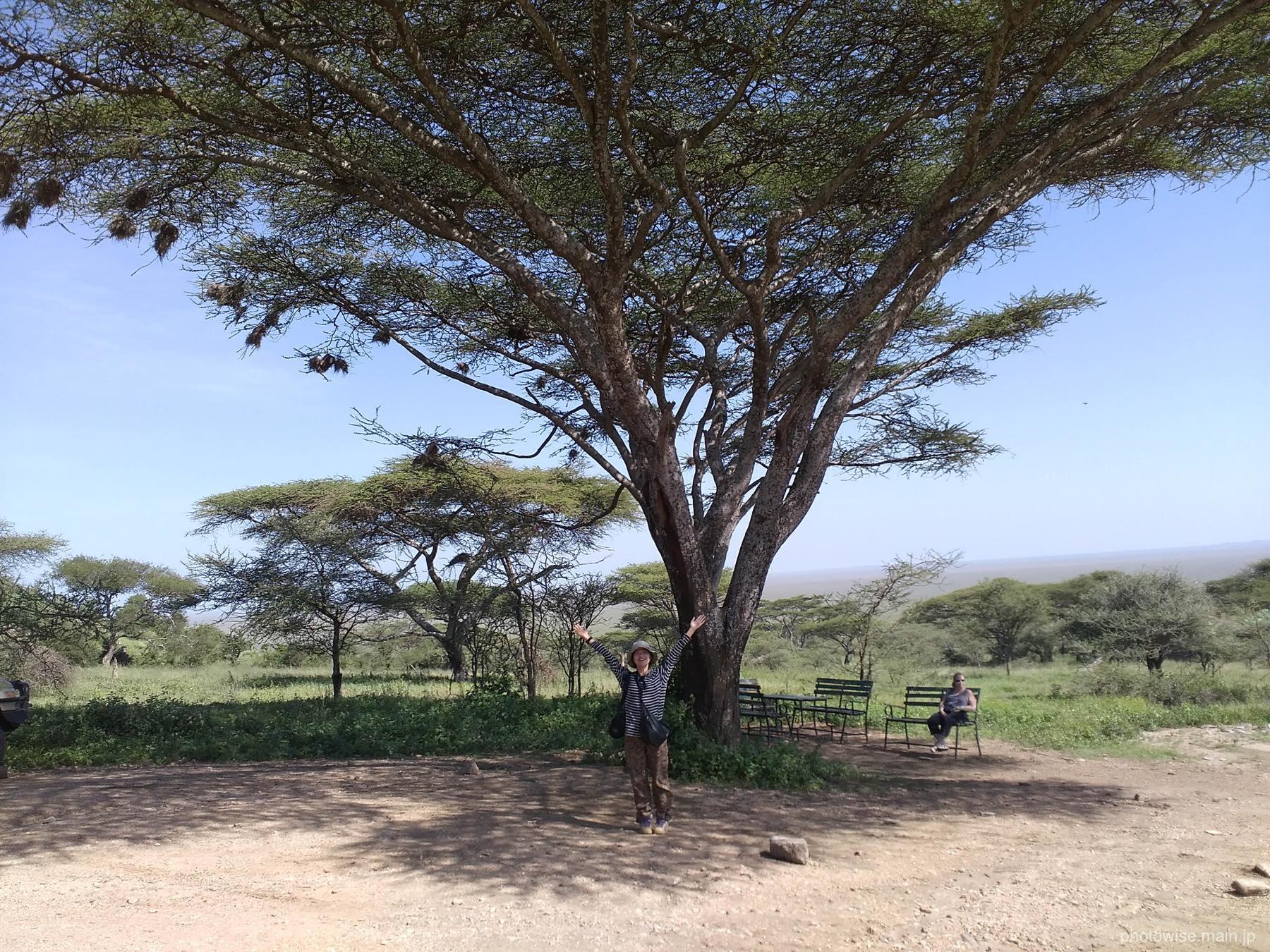 サバンナの木と