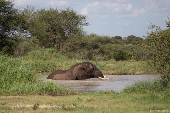 川で水浴びするゾウ