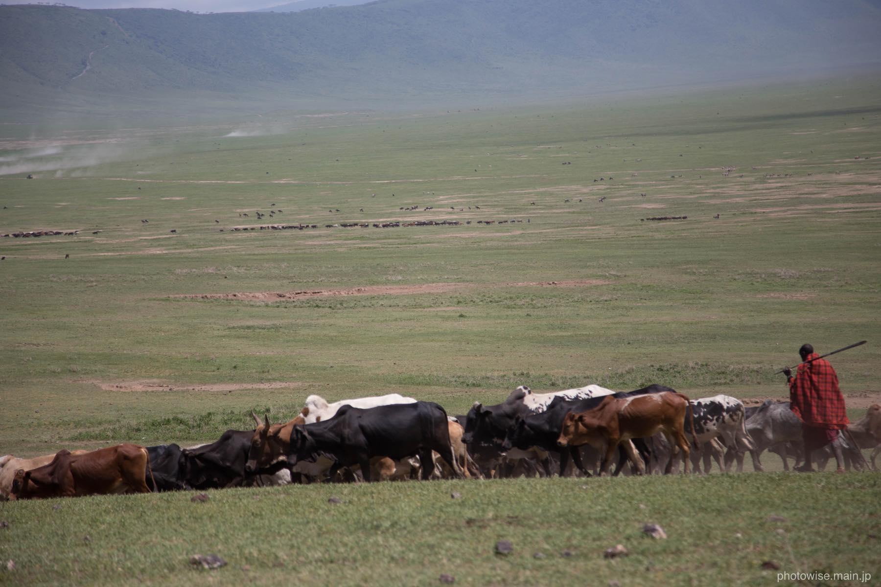 マサイと家畜