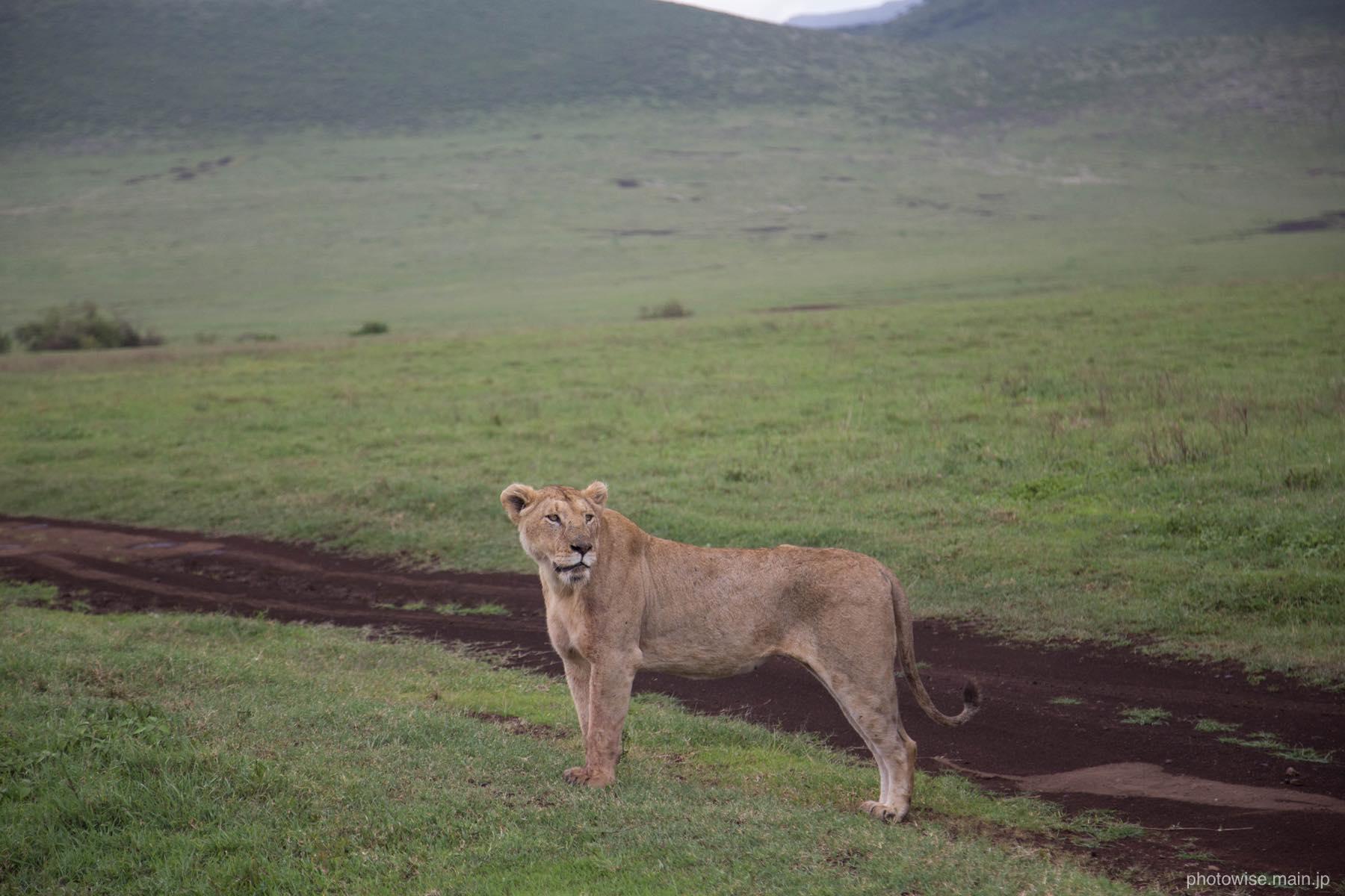 クールなライオン