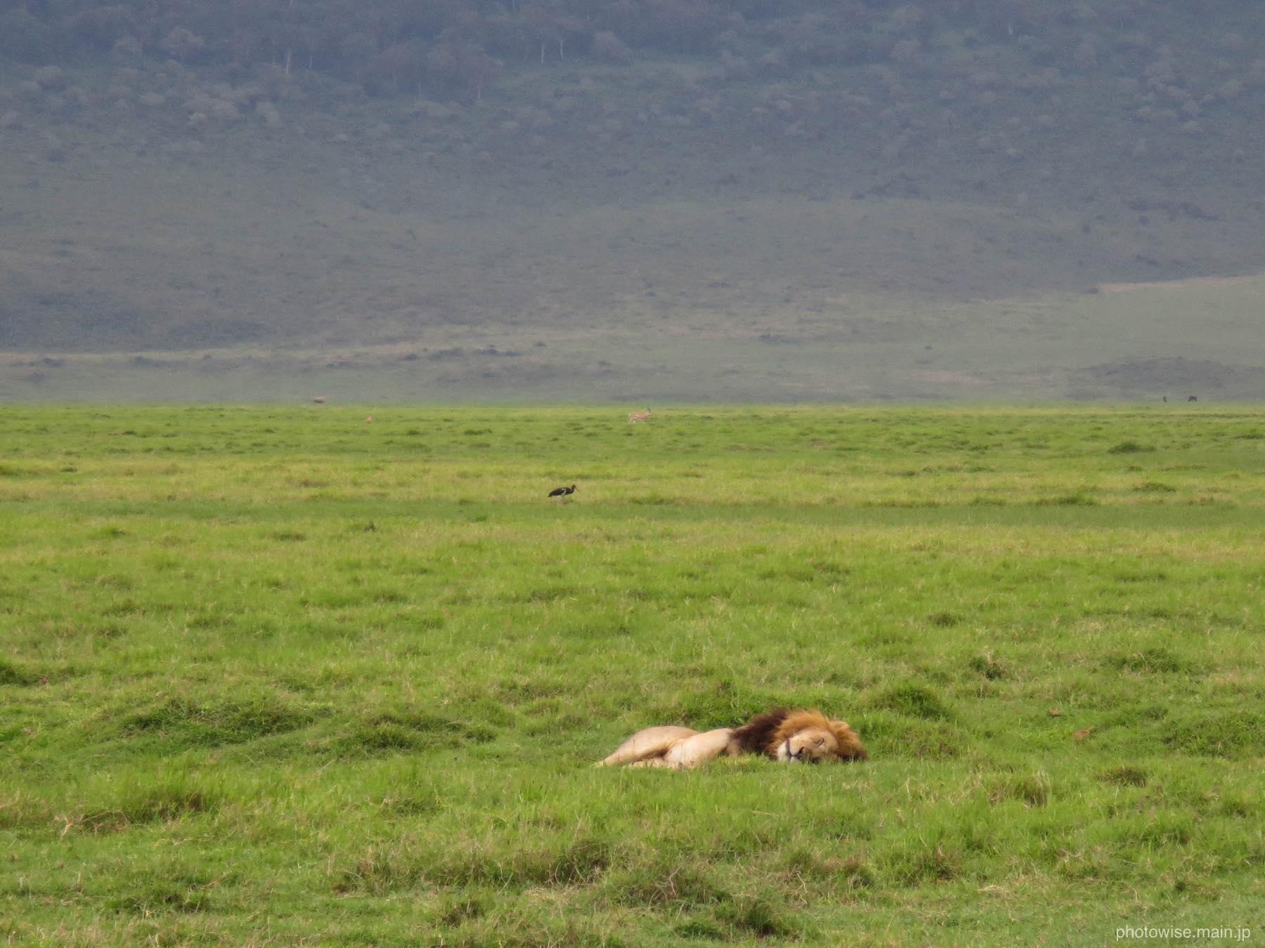 雄ライオンはお昼寝中