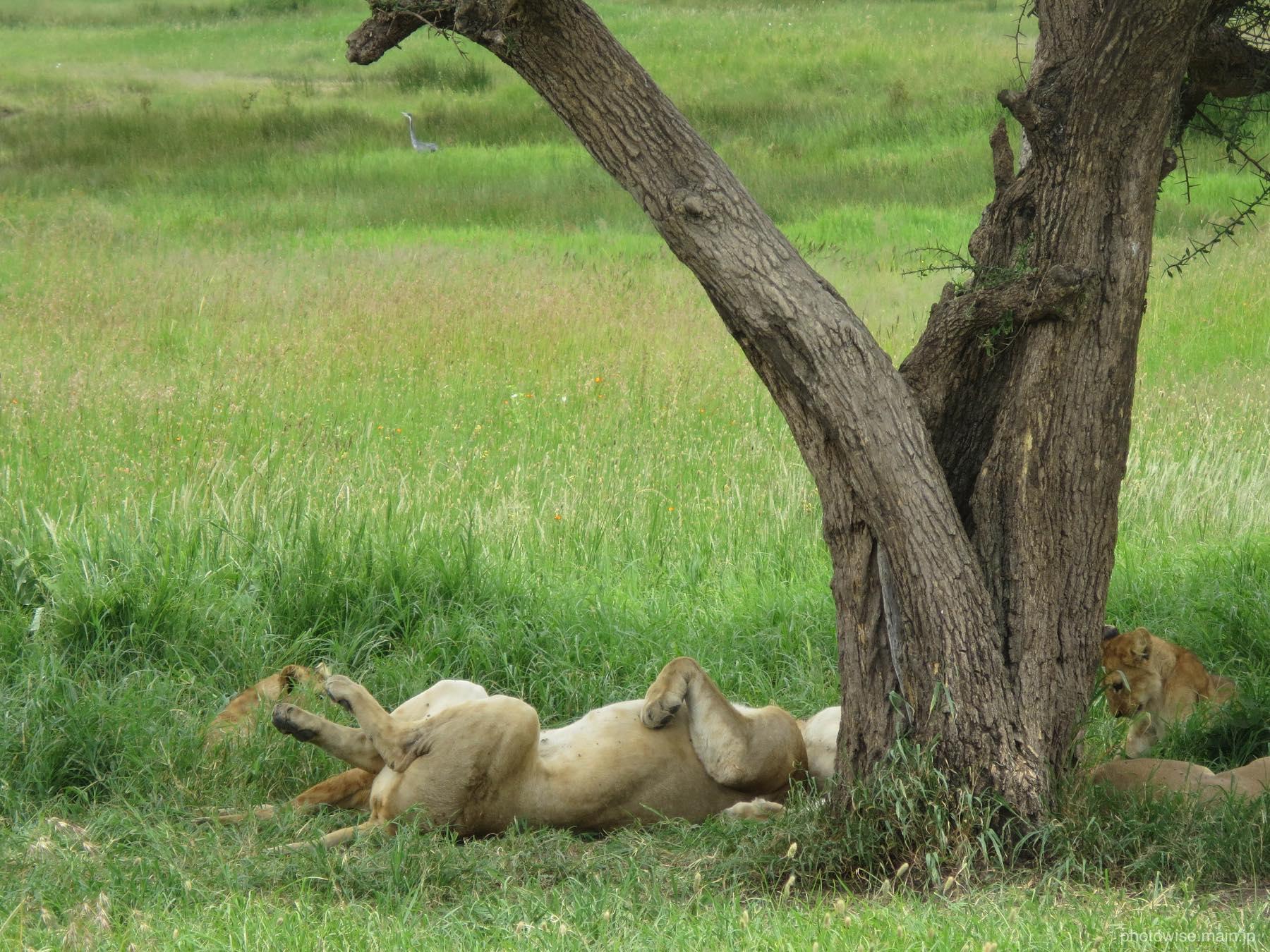ますます眠りこけるライオン