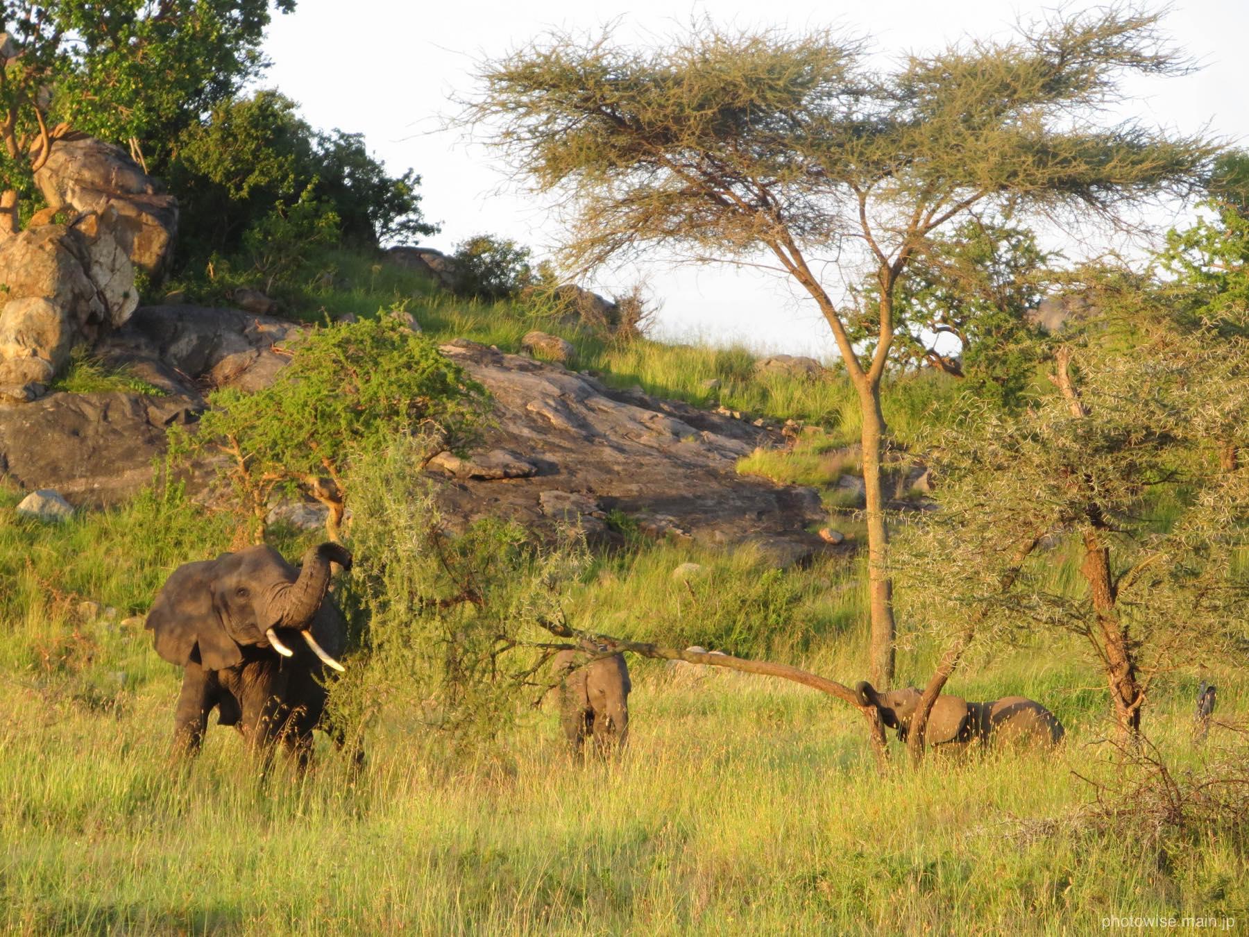 ゾウの親子たち
