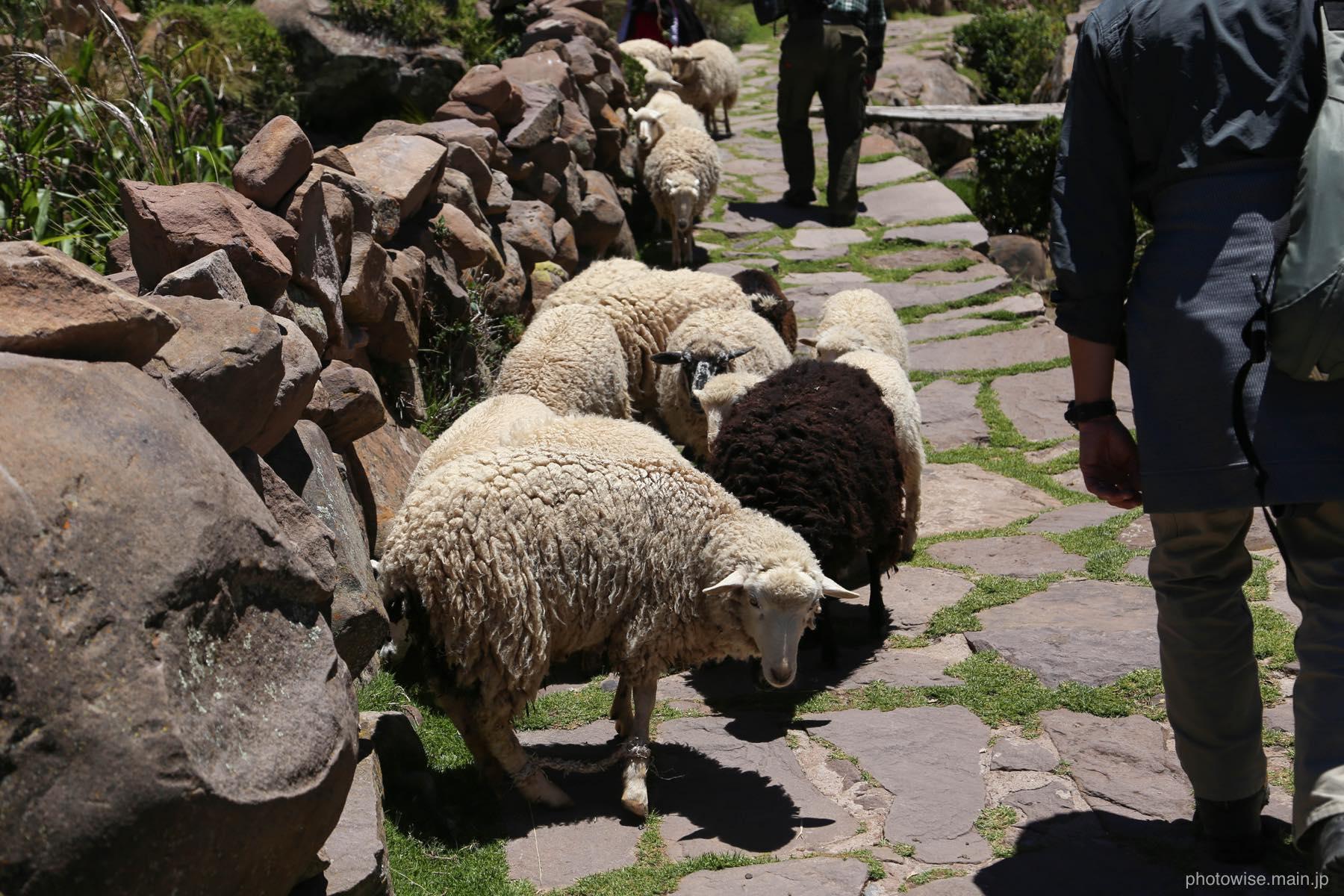 タキーレ島の家畜