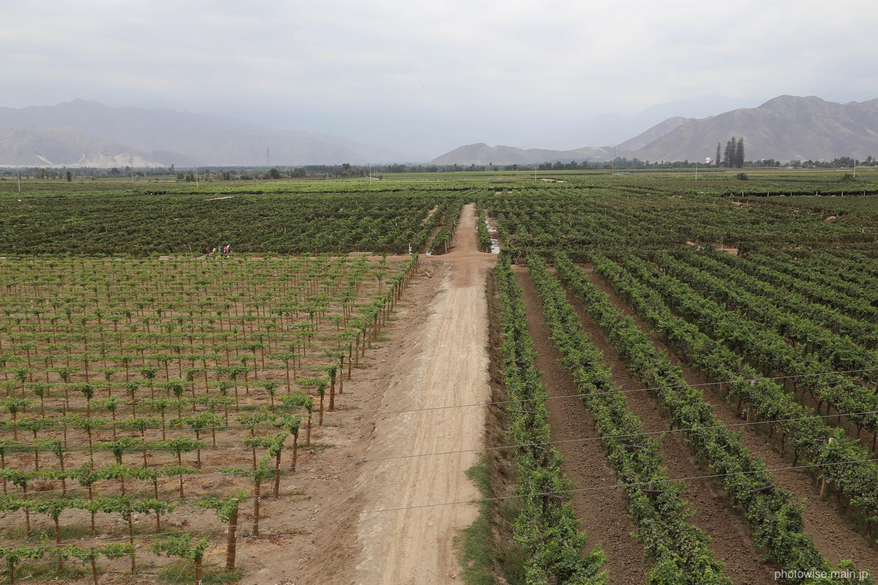 tacamaのぶどう畑