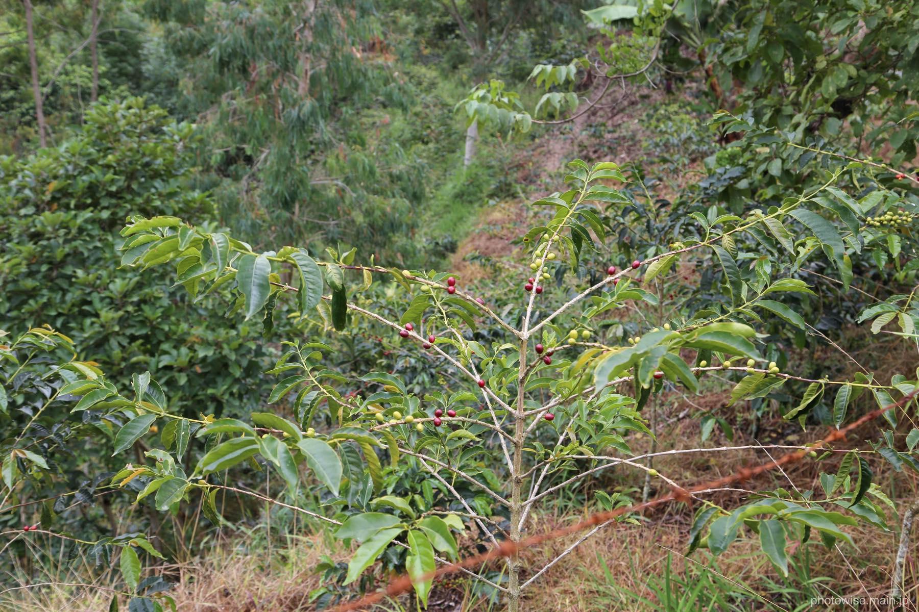 アラビカ豆