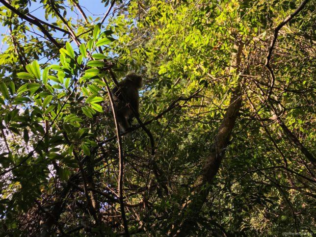 木の上のヤクザル