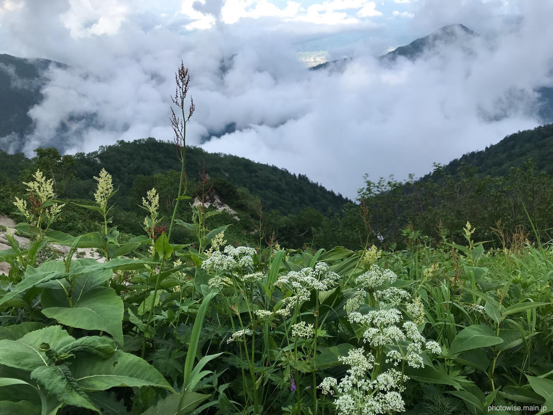 高山植物と雲海